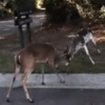 Piebald deer fight